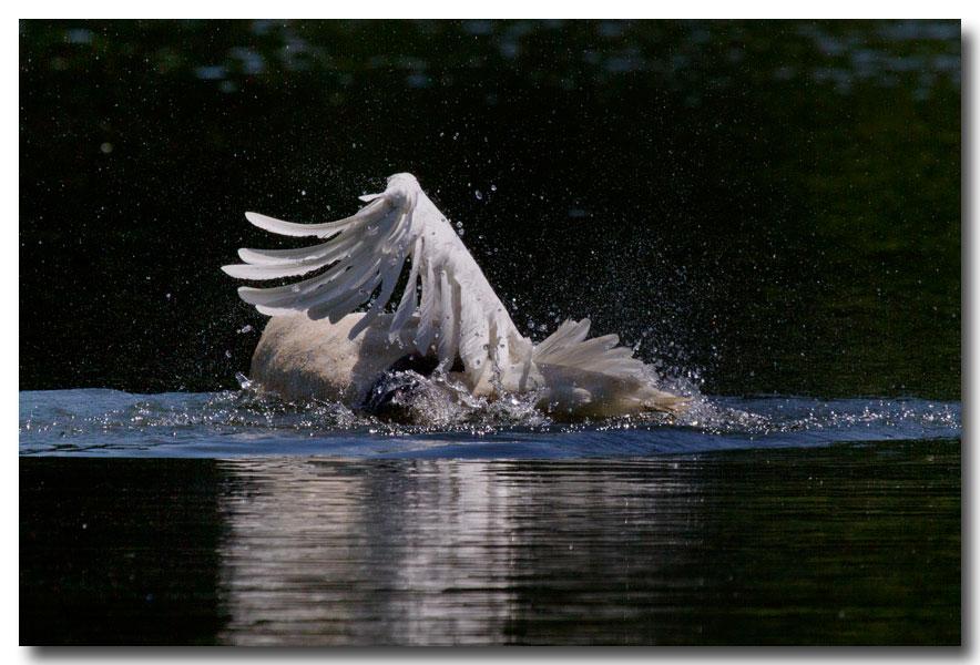 《酒一船摄影》:又见天鹅狂舞_图1-14