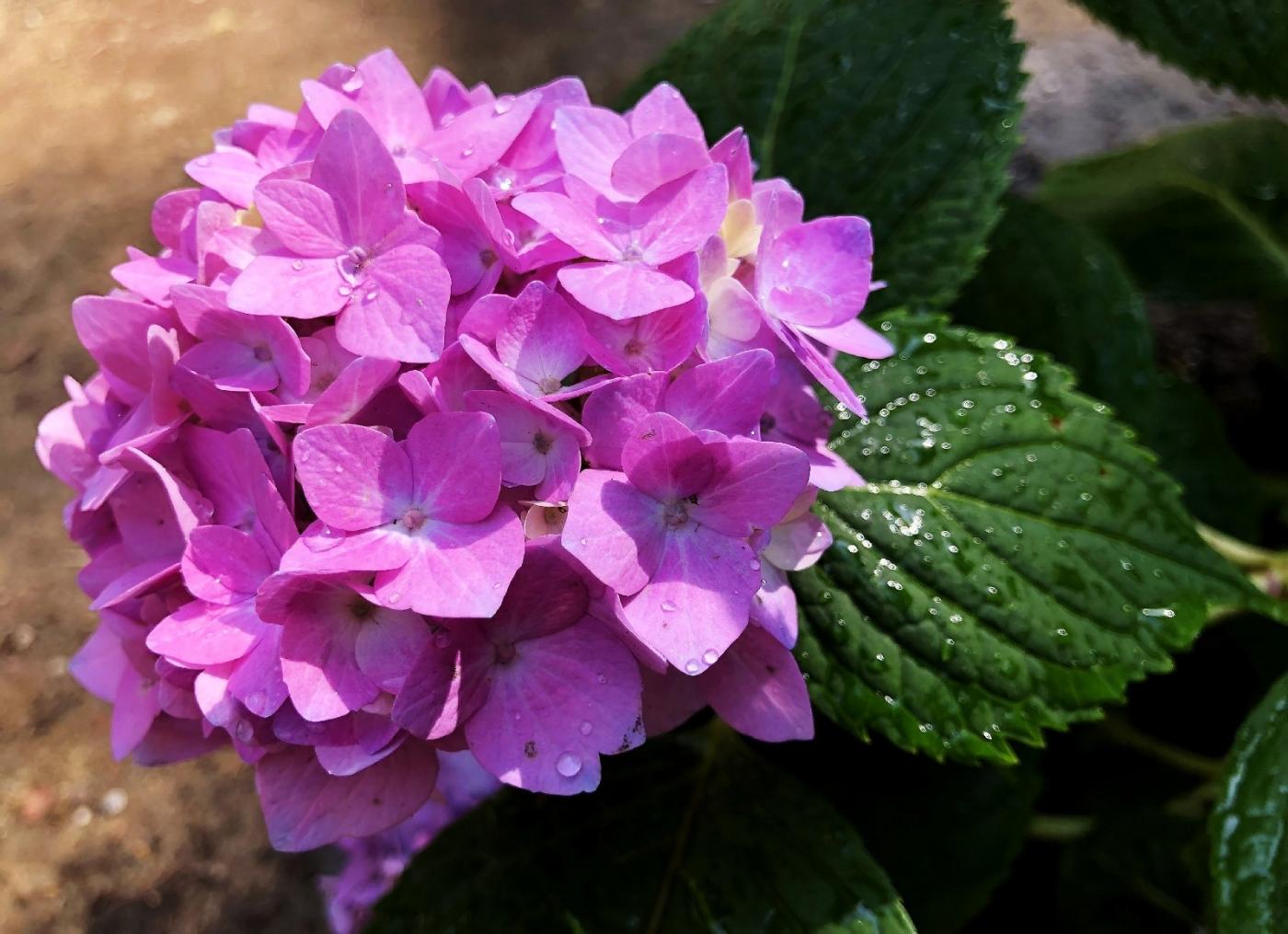 【田螺手机摄影】我种的双色绣球花_图1-8
