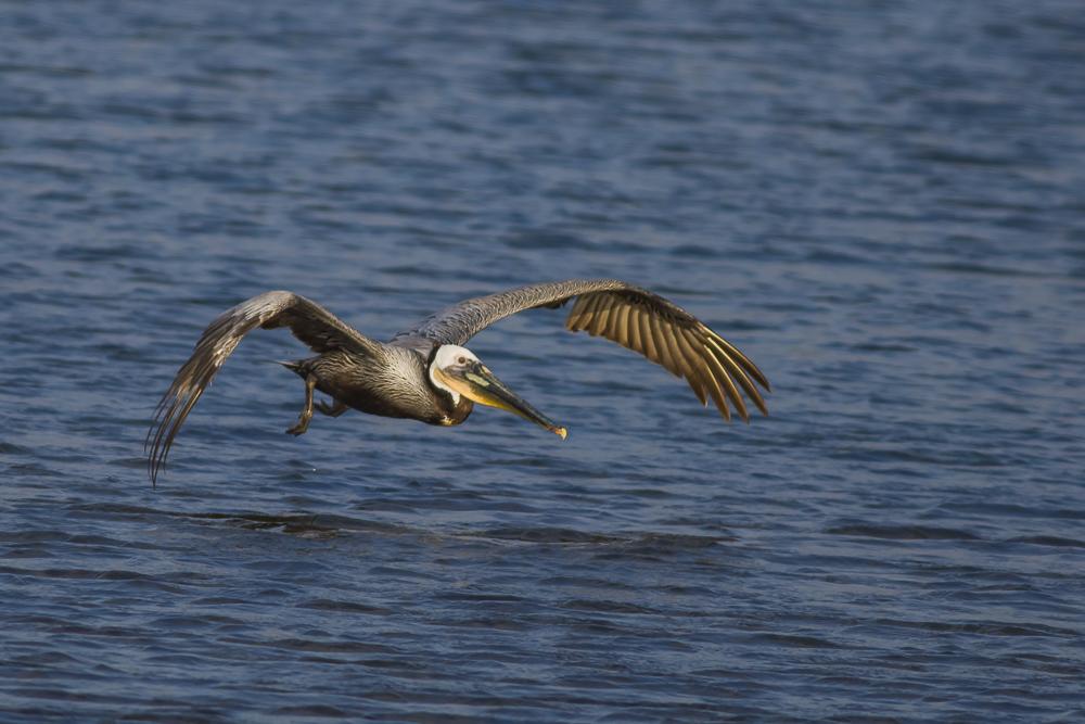 大塘鹅捕食,够气势!_图1-8