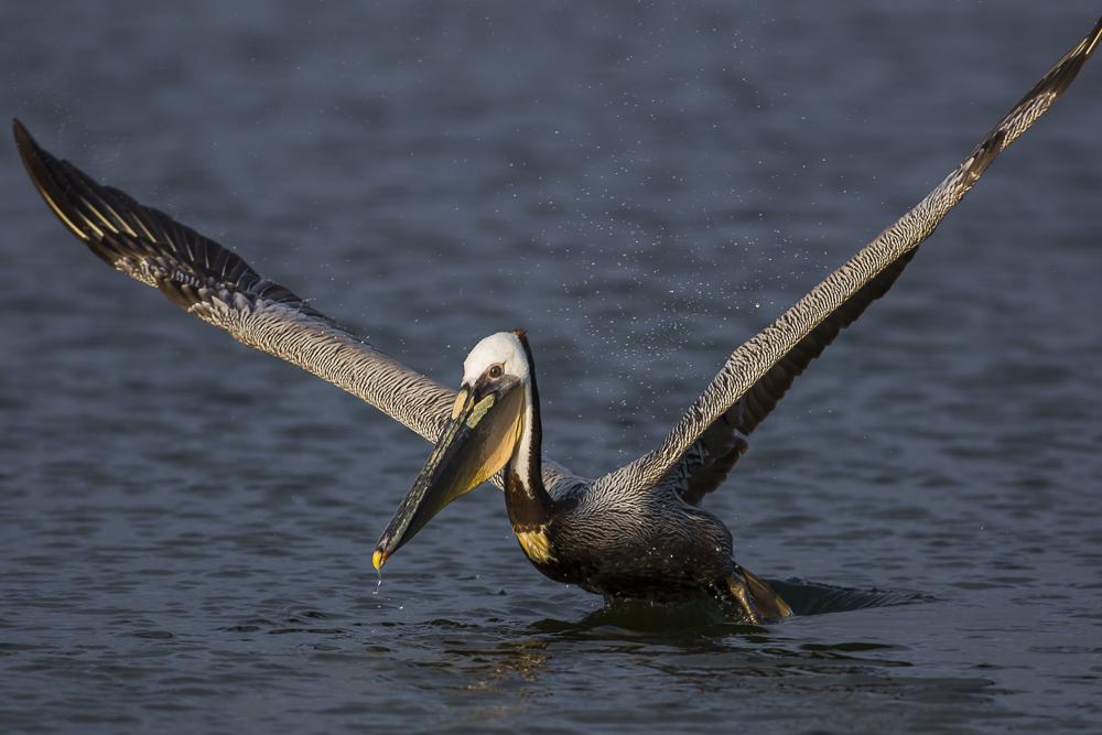 大塘鹅捕食,够气势!_图1-1