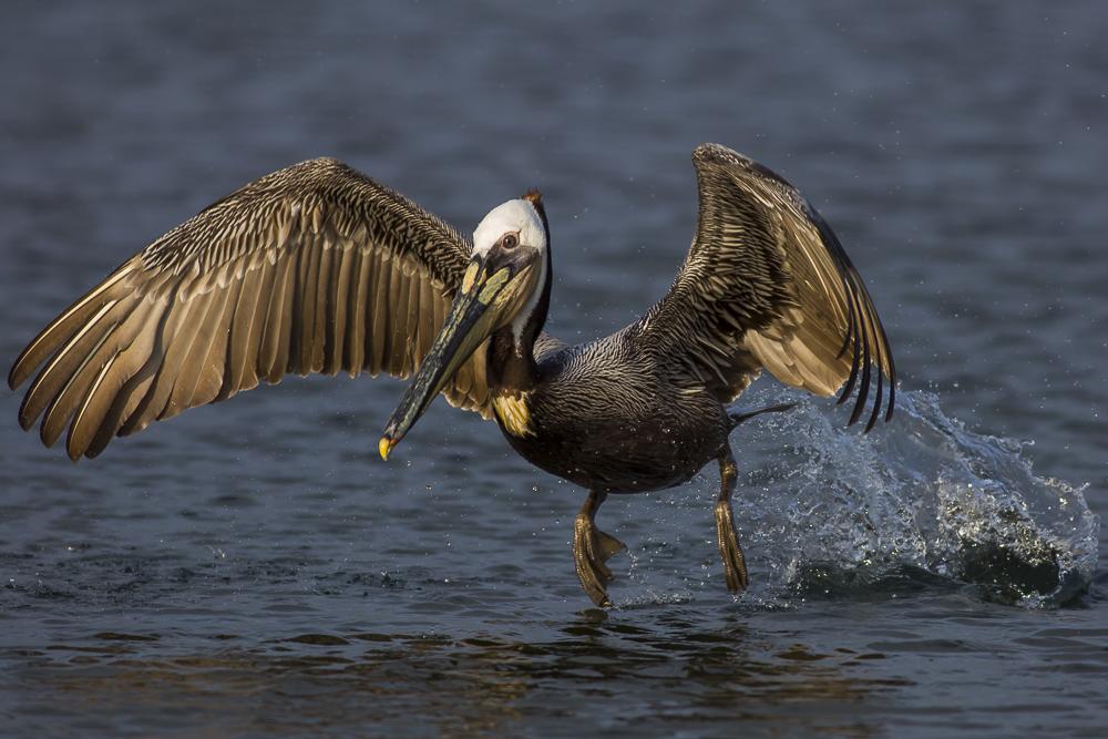 大塘鹅捕食,够气势!_图1-2