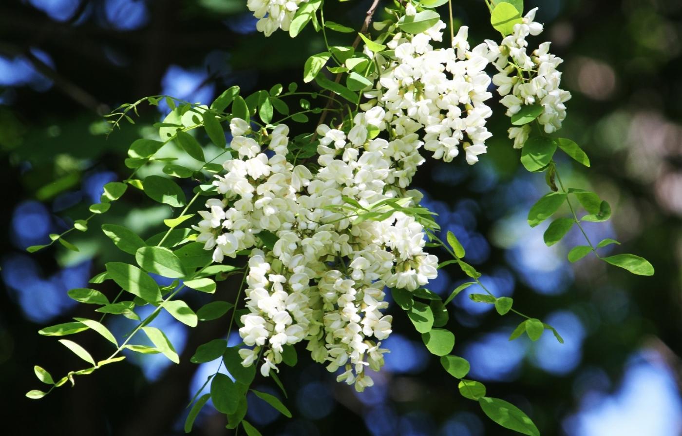 【田螺随拍】美国黄杨american yellowwood_图1-1