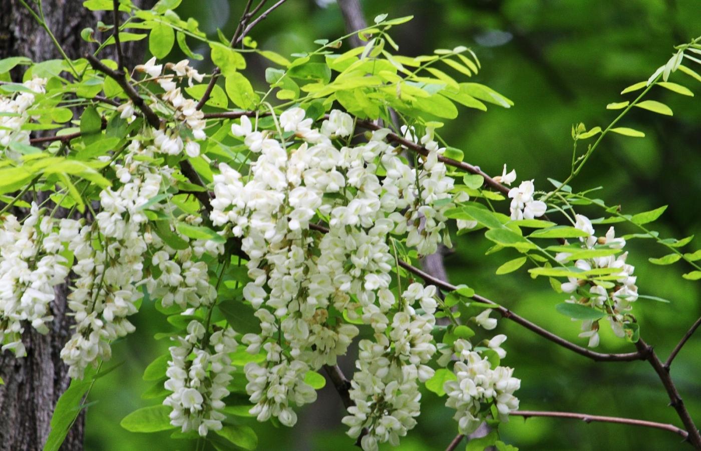 【田螺随拍】美国黄杨american yellowwood_图1-2