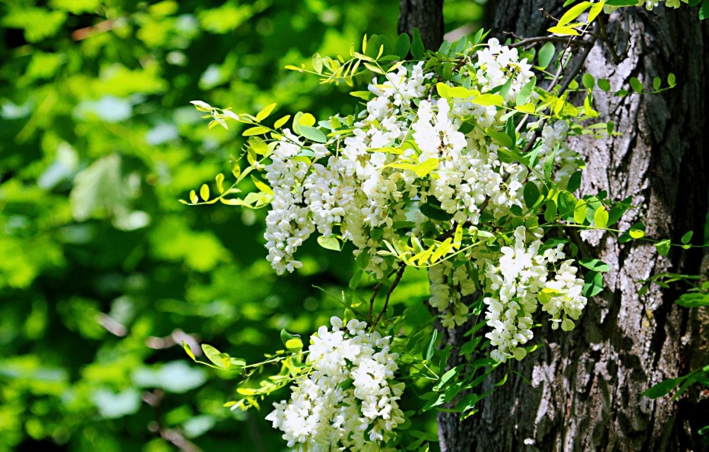 【田螺随拍】美国黄杨american yellowwood_图1-3