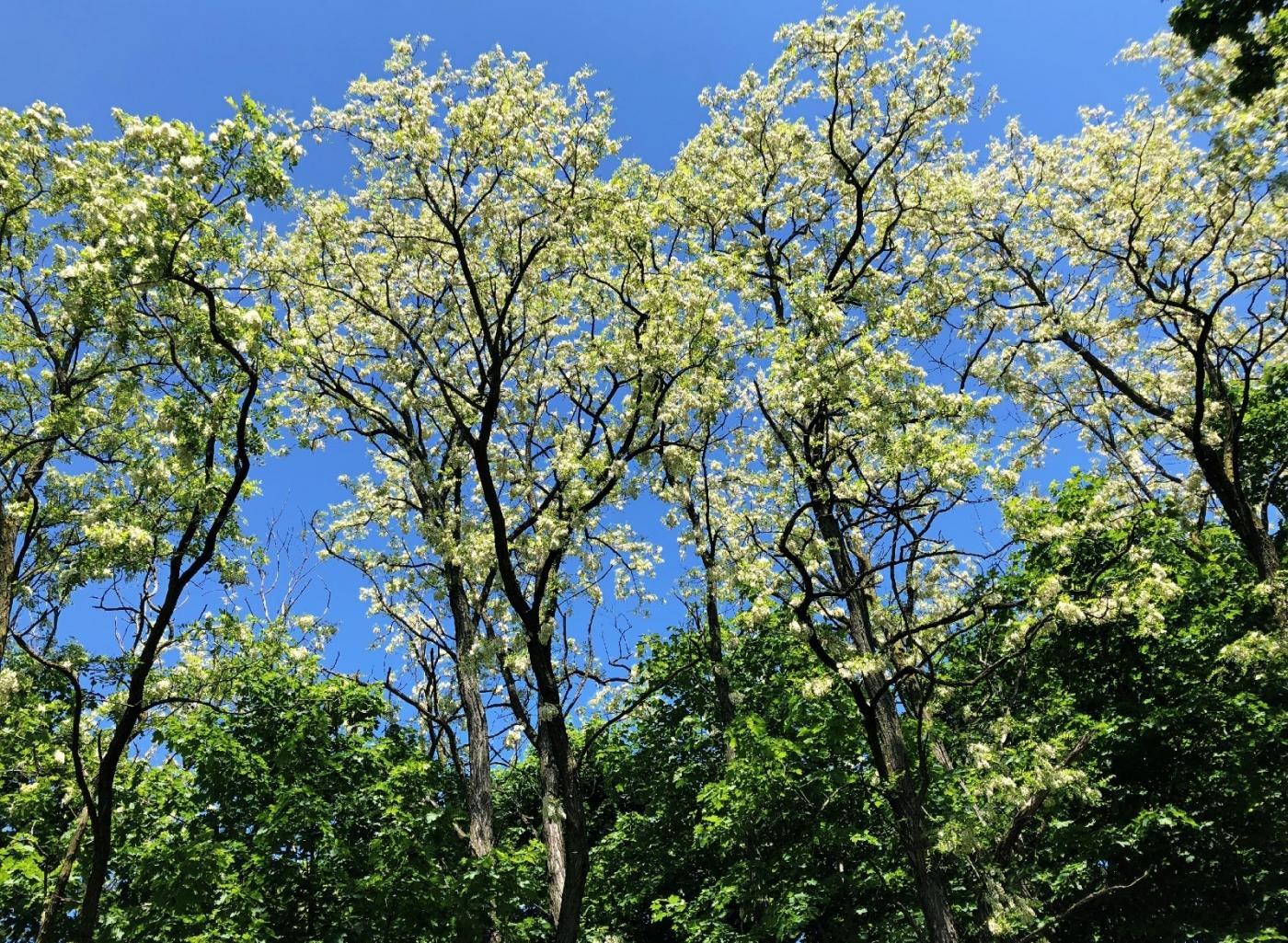 【田螺随拍】美国黄杨american yellowwood_图1-4