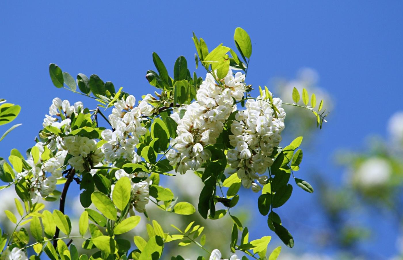 【田螺随拍】美国黄杨american yellowwood_图1-6