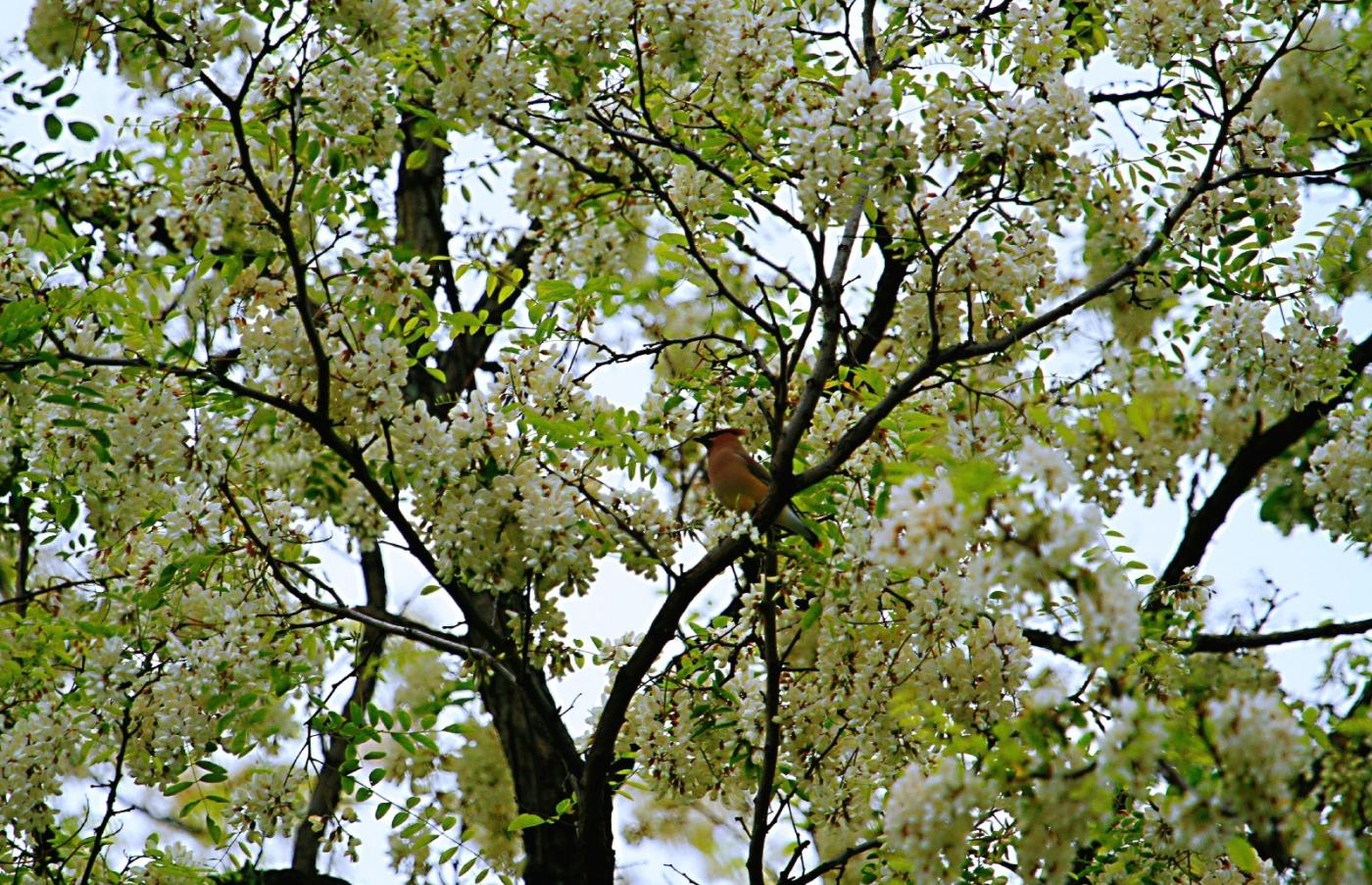 【田螺随拍】美国黄杨american yellowwood_图1-5