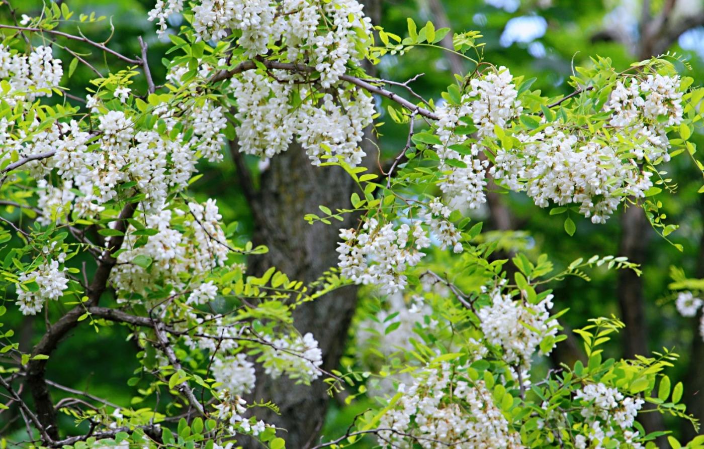 【田螺随拍】美国黄杨american yellowwood_图1-7