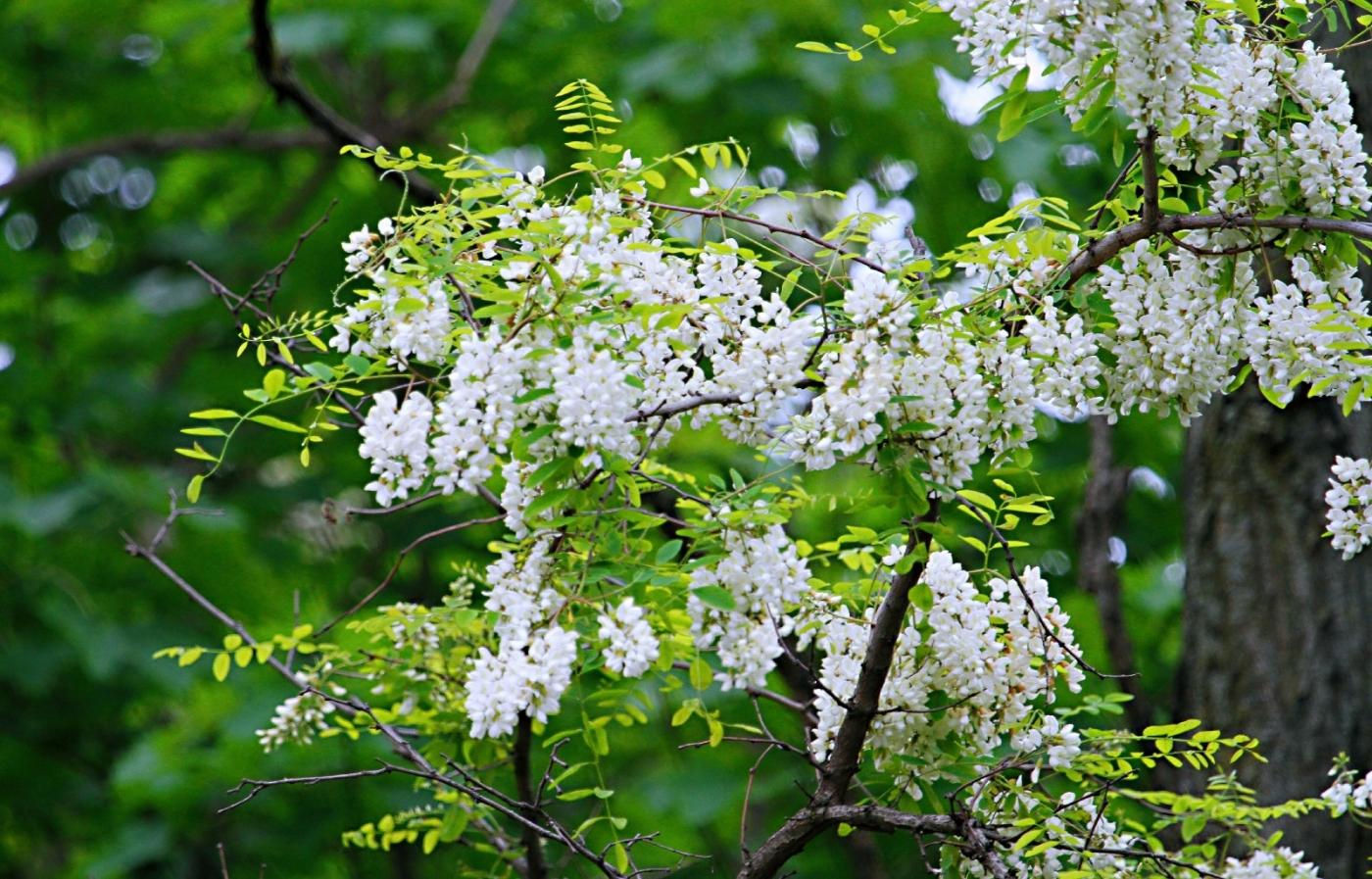 【田螺随拍】美国黄杨american yellowwood_图1-8