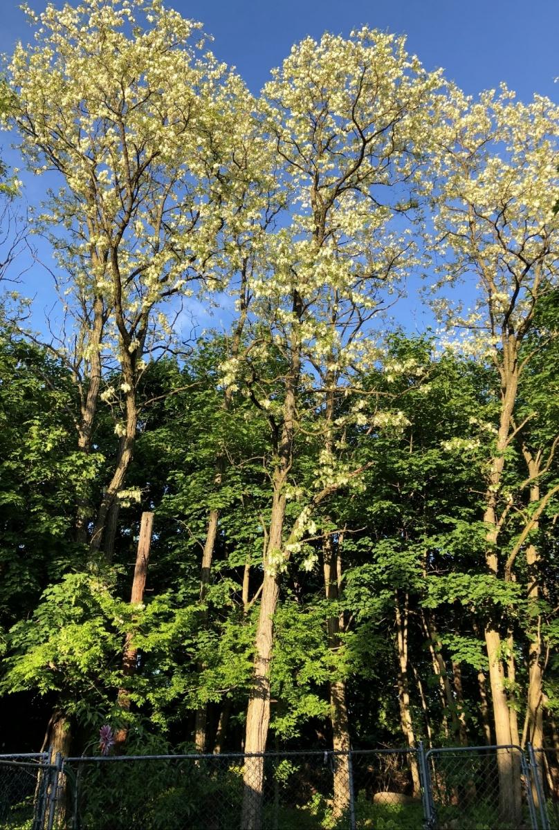 【田螺随拍】美国黄杨american yellowwood_图1-9