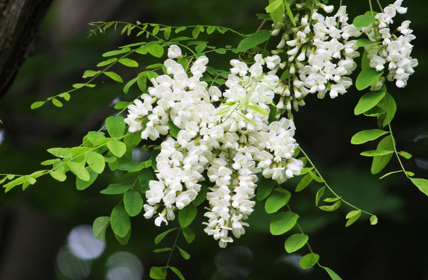 【田螺随拍】美国黄杨american yellowwood_图1-10