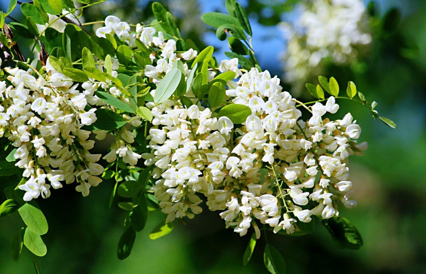 【田螺随拍】美国黄杨american yellowwood_图1-12