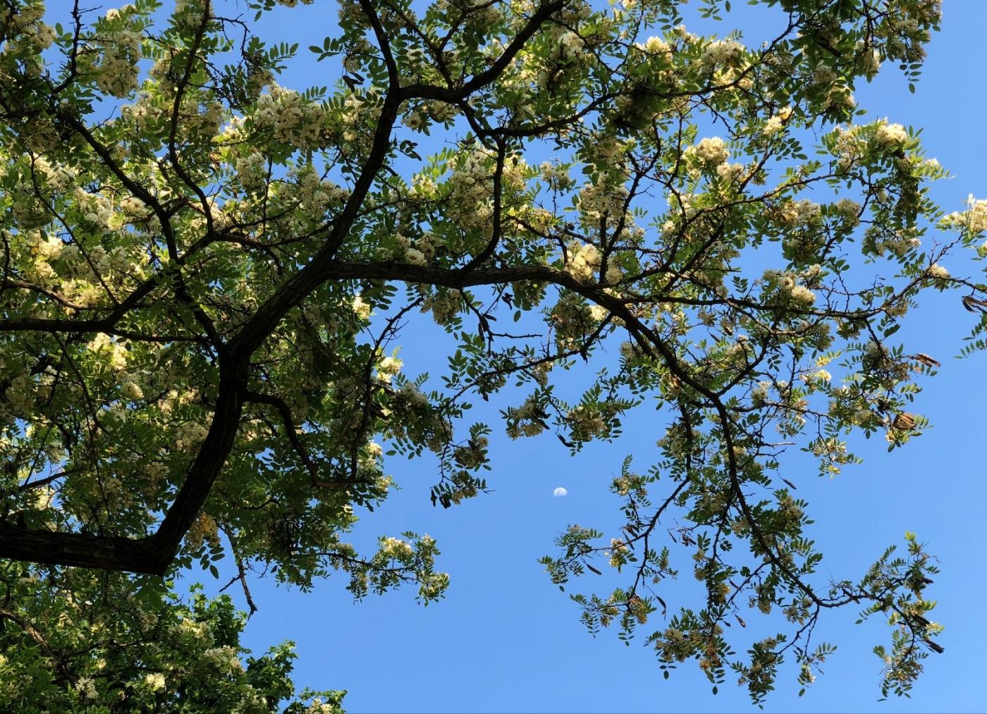 【田螺随拍】美国黄杨american yellowwood_图1-11