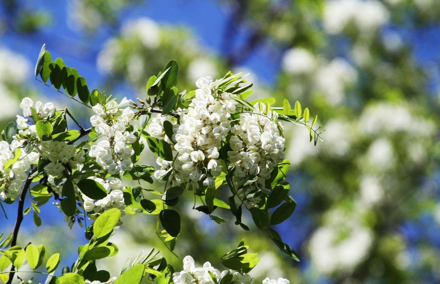 【田螺随拍】美国黄杨american yellowwood_图1-13