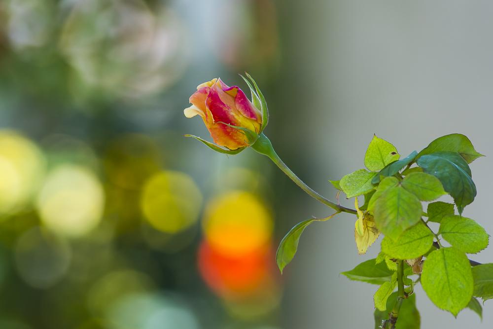 亨庭顿玫瑰园里赏玫瑰_图1-8