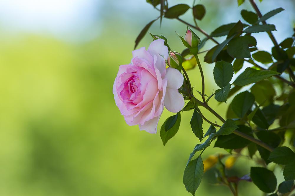 亨庭顿玫瑰园里赏玫瑰_图1-9