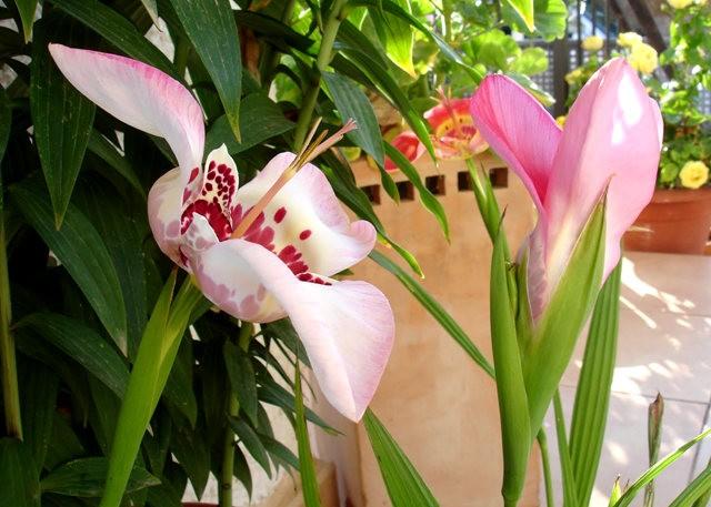 罕有的虎皮花开花了_图1-4