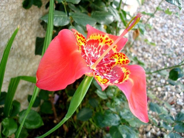 罕有的虎皮花开花了_图1-12