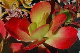 室内室外的良好盆花------石莲