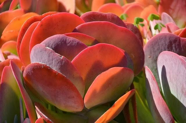 室內室外的良好盆花------石蓮_圖1-12