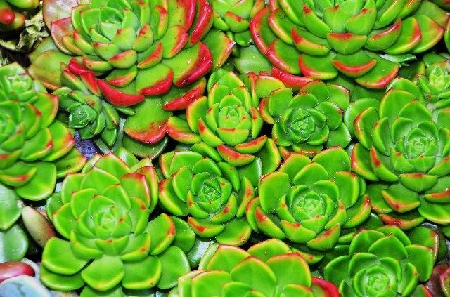 室內室外的良好盆花------石蓮_圖1-13
