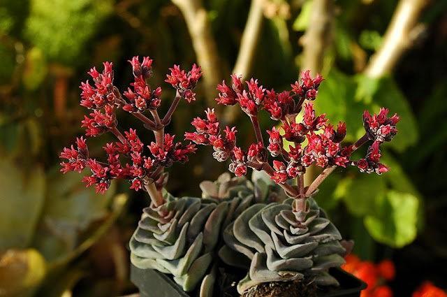 室內室外的良好盆花------石蓮_圖1-14