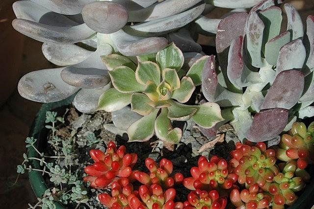 室內室外的良好盆花------石蓮_圖1-15