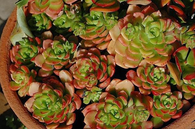 室內室外的良好盆花------石蓮_圖1-19