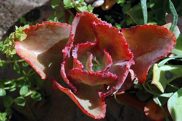 室內室外的良好盆花------石蓮_圖1-21