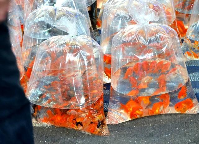 拜訪香港的金魚水族店_圖1-1