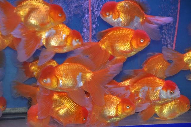 拜访香港的金鱼水族店_图1-2