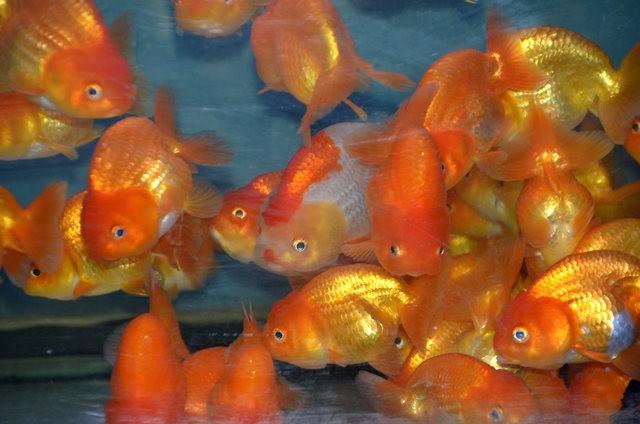 拜访香港的金鱼水族店_图1-3