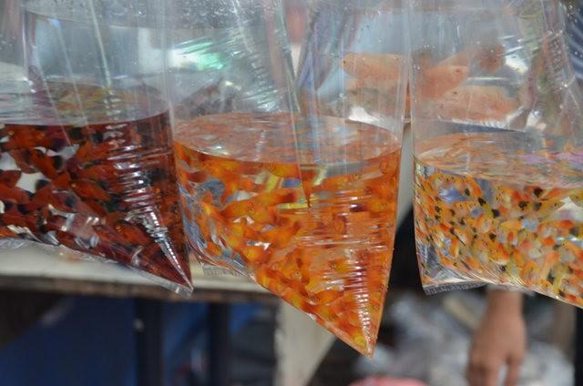 拜訪香港的金魚水族店_圖1-5