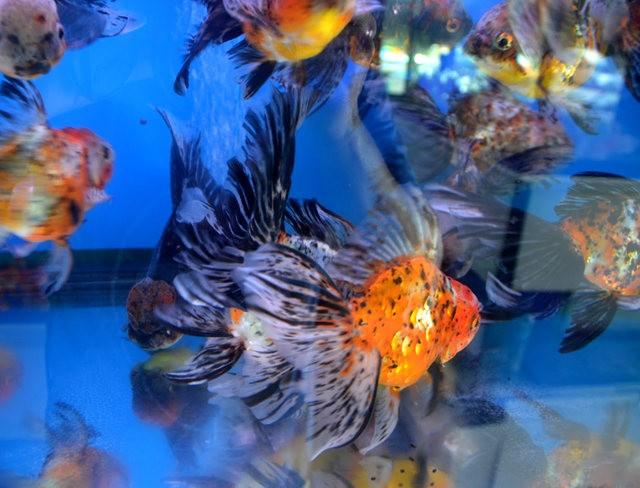 拜访香港的金鱼水族店_图1-6