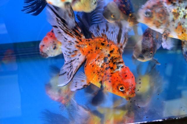 拜訪香港的金魚水族店_圖1-7