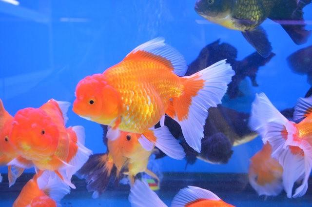拜访香港的金鱼水族店_图1-8