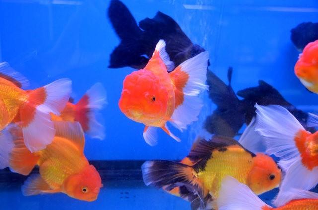 拜访香港的金鱼水族店_图1-9