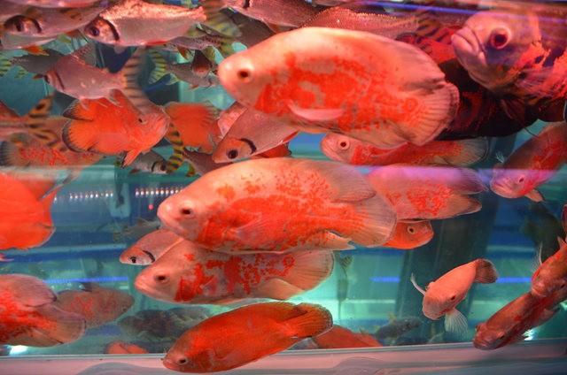 拜訪香港的金魚水族店_圖1-10