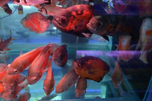 拜访香港的金鱼水族店_图1-11