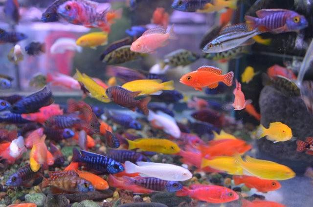 拜訪香港的金魚水族店_圖1-12