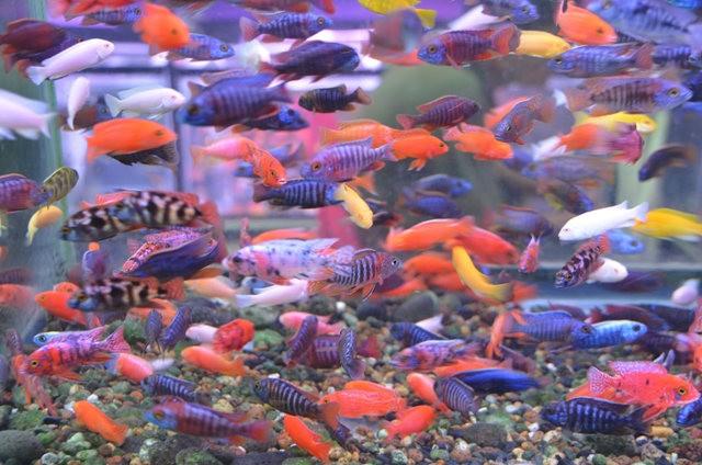 拜访香港的金鱼水族店_图1-13