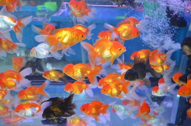 拜訪香港的金魚水族店_圖1-14
