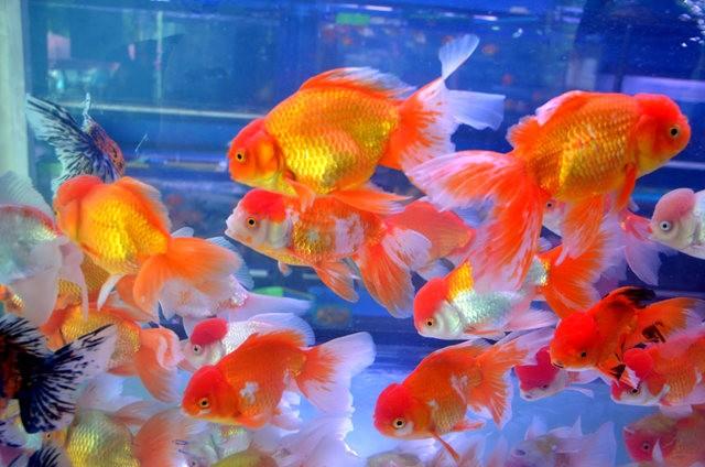 拜访香港的金鱼水族店_图1-15
