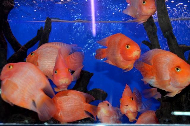 拜訪香港的金魚水族店_圖1-16