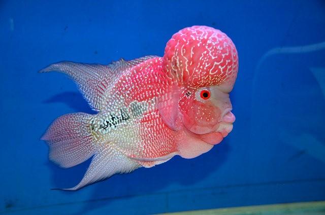 拜访香港的金鱼水族店_图1-17