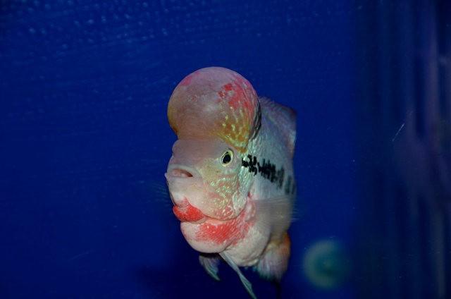 拜訪香港的金魚水族店_圖1-18