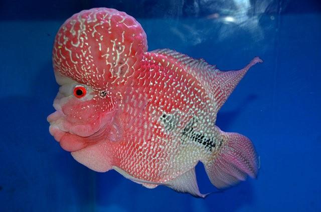 拜访香港的金鱼水族店_图1-19