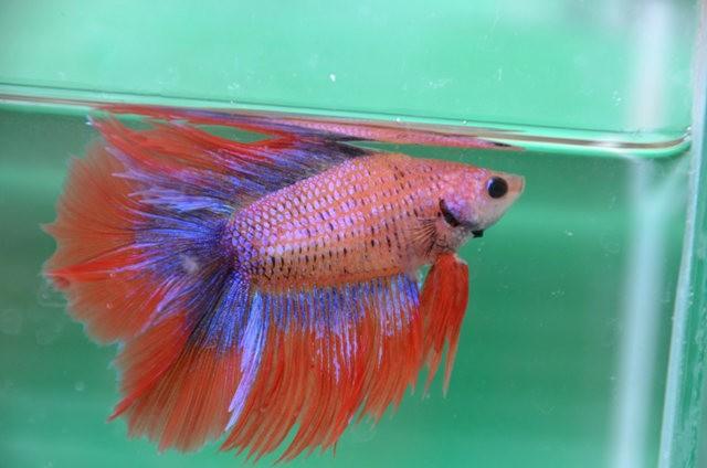 拜訪香港的金魚水族店_圖1-20