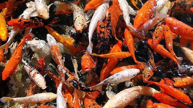 拜訪香港的金魚水族店_圖1-21