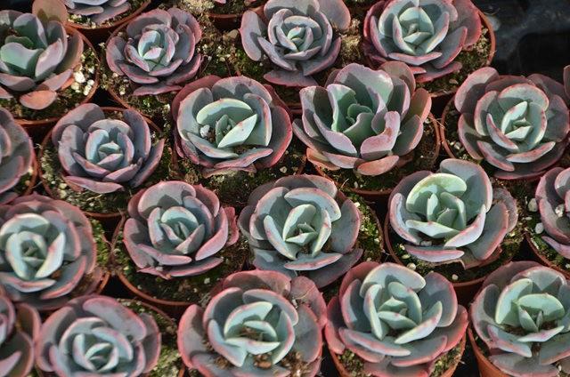 室内室外的良好盆花----石莲 2_图1-3